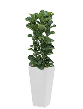 Ficus lyrata bambino incl pot Style Square wit