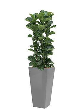 Ficus lyrata bambino incl pot Style Square zilver
