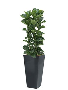 Ficus lyrata bambino incl pot Style Square antraciet