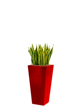 Sansevieria laurentii incl pot Style Square rood