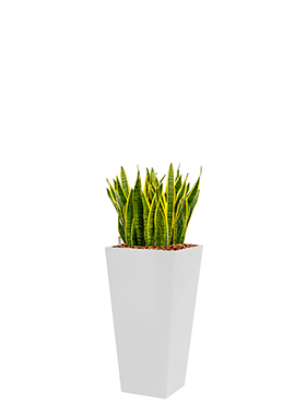 Sansevieria laurentii incl pot Style Square wit
