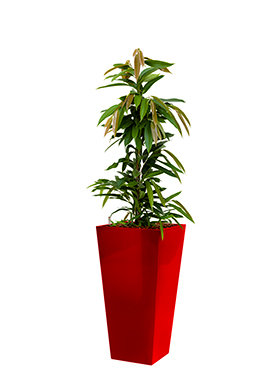 Ficus amstel king incl pot Style Square rood