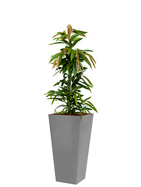 Ficus amstel king incl pot Style Square zilver