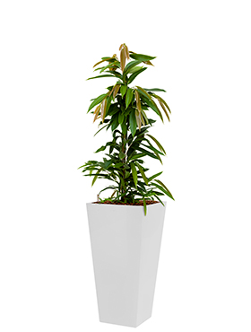 Ficus amstel king incl pot Style Square wit