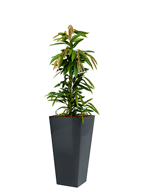 Ficus amstel king incl pot Style Square antraciet