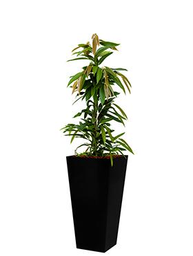 Ficus amstel king incl pot Style Square zwart