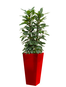 Ficus cyathistipula incl pot Style Square rood