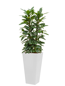 Ficus cyathistipula incl pot Style Square wit