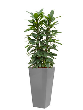 Ficus cyathistipula incl pot Style Square zilver