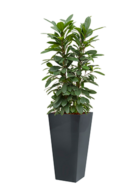 Ficus cyathistipula incl pot Style Square antraciet