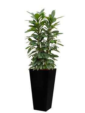 Ficus cyathistipula incl pot Style Square zwart