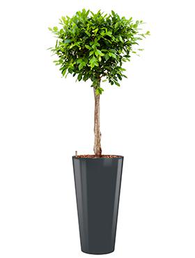 Ficus nitida incl pot Style antraciet