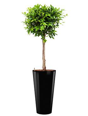 Ficus nitida incl pot Style zwart