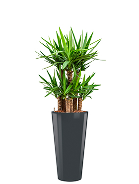 Yucca elephantipes incl pot Style antraciet