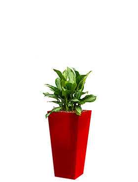 Aglaonema silver bay incl pot Style Square rood