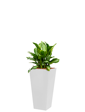 Aglaonema silver bay incl pot Style Square wit