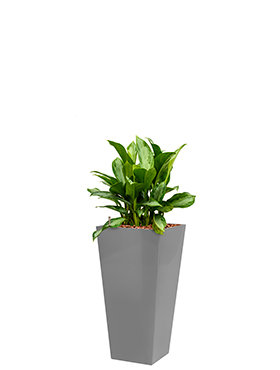 Aglaonema silver bay incl pot Style Square zilver