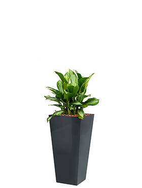 Aglaonema silver bay incl pot Style Square antraciet