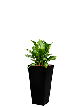 Aglaonema silver bay incl pot Style Square zwart