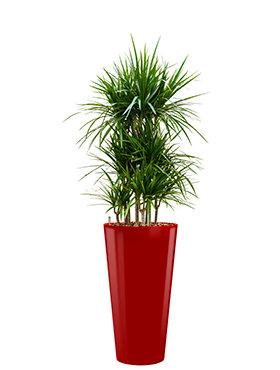 Dracaena marginata incl pot Style rood