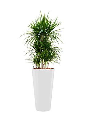 Dracaena marginata incl pot Style wit