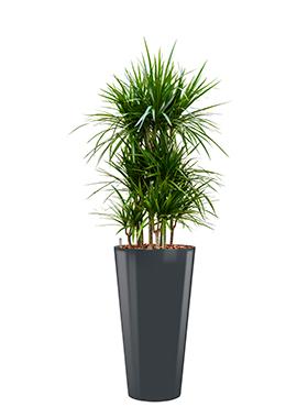 Dracaena marginata incl pot Style antraciet
