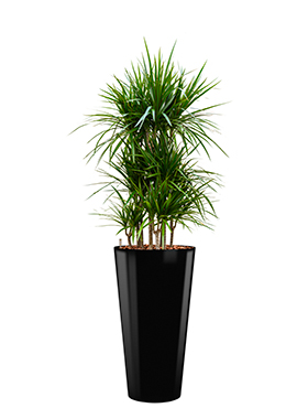 Dracaena marginata incl pot Style zwart