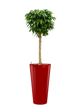 Ficus benjamina columnar incl pot Style rood