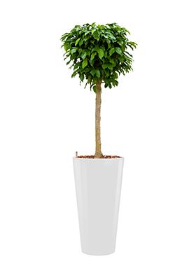 Ficus benjamina columnar incl pot Style wit