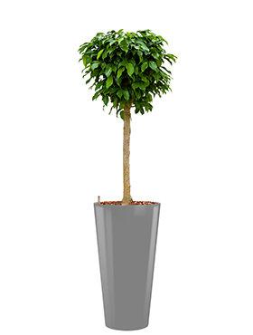 Ficus benjamina columnar incl pot Style zilver
