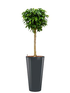 Ficus benjamina columnar incl pot Style antraciet