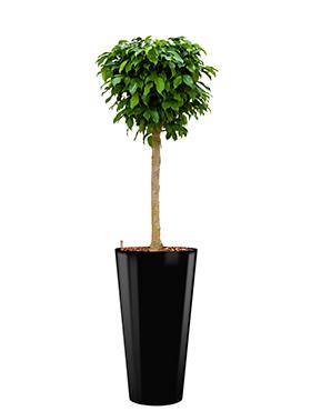 Ficus benjamina columnar incl pot Style zwart
