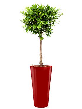 Ficus nitida  incl pot Style rood