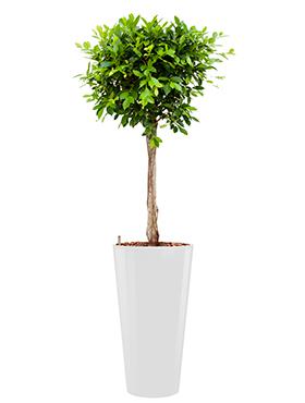 Ficus nitida  incl pot Style wit