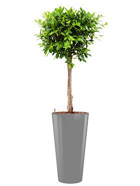 Ficus nitida  incl pot Style zilver