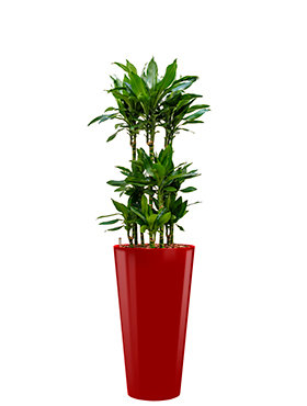 Dracaena janet lind incl pot Style rood
