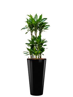 Dracaena janet lind incl pot Style zwart
