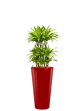 Dracaena lemon lime incl pot Style rood
