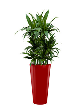 Dracaena janet craig incl pot Style rood