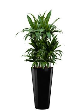 Dracaena janet craig incl pot Style zwart