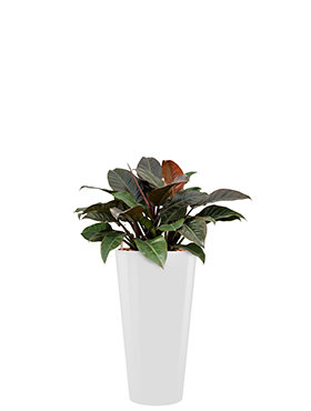 Philodendron imperial red incl pot Style wit