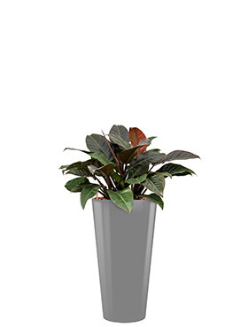 Philodendron imperial red incl pot Style zilver