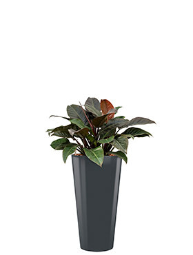 Philodendron imperial red incl pot Style antraciet