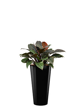 Philodendron imperial red incl pot Style zwart
