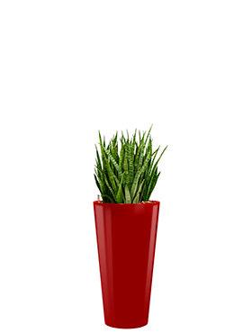Sansevieria kirkii incl pot Style rood