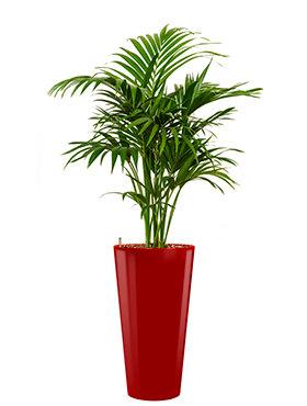 Kentia (howea) forsteriana incl pot Style rood