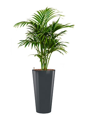Kentia (howea) forsteriana incl pot Style antraciet