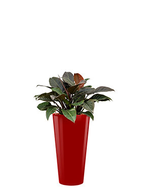 Philodendron imperial red incl pot Style rood