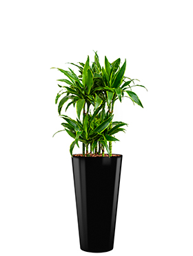 Dracaena arturo incl pot Style zwart