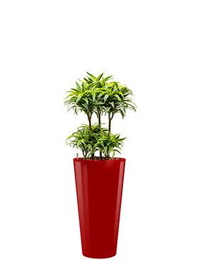 Dracaena surprise incl pot Style rood